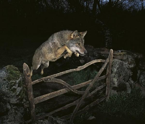 Lobo ibérico saltando verja